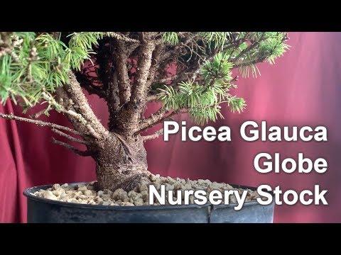 Alberta Spruce Globe, April 2019 - Small Balcony Bonsai