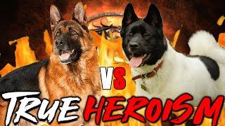 German Shepherd vs American Akita | American Akita vs German Shepherd | Powerful Dog | Billa Boyka |