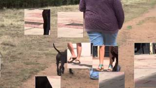 Dudley - German Shorthaired Pointer Puppy - 14 Day Dog Boot Camp At Adolescent Dogs Uk