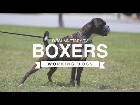 all-about-boxers:-working-dogs