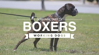 ALL ABOUT BOXERS: WORKING DOGS