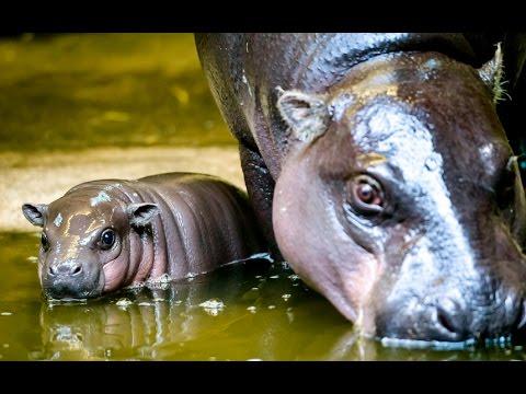 Endangered pygmy hippo born at Bristol zoo