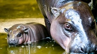 Endangered pygmy hippo born at Bristol zoo
