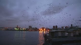 A New York City light show...performed by pigeons!