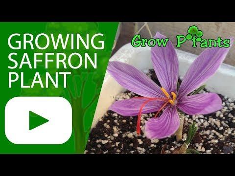 Growing Saffron plant