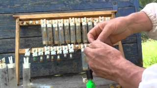 разведение пчёл вывод маток