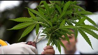 Comisión aprueba proyecto de marihuana medicinal