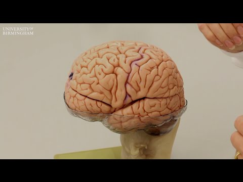 What does the brain look like? - YouTube