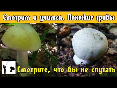 Сыроежка зелёная и Бледная поганка смотри не перепутай