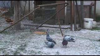 Как сделать ловушку для птиц или ловушка для птиц своими руками