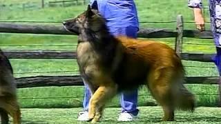 Belgian Tervuren  AKC Dog Breed Series