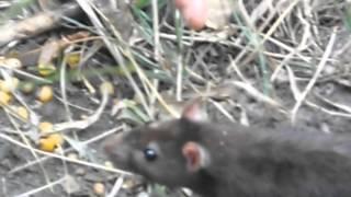 дикая водяная крыса
