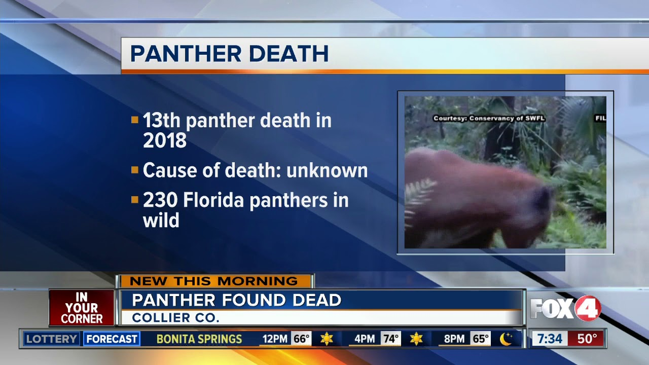 29443708bf3 Florida panther found dead in Collier County - YouTube