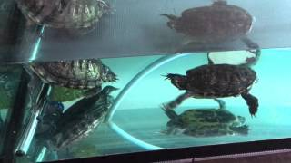 Red ear slider Turtle mating
