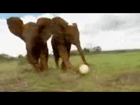 Cute elephants play football in Africa! BBC wildlife