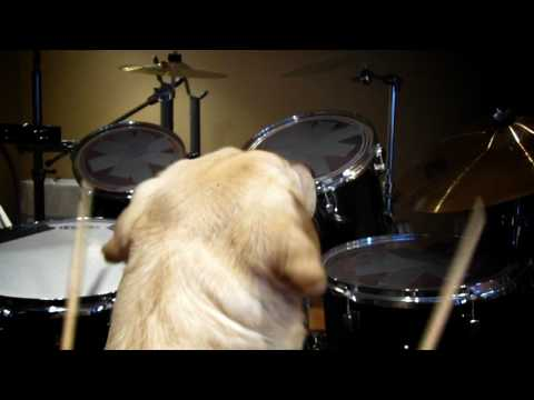 Dog Plays Drums