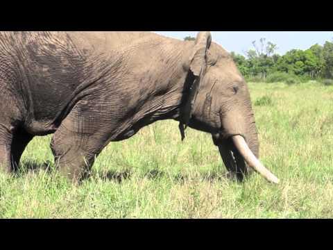 Musth male elephant behavior - Mara Conservancy