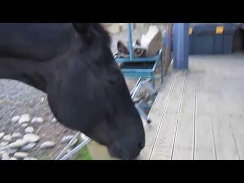 Horse eating licorice