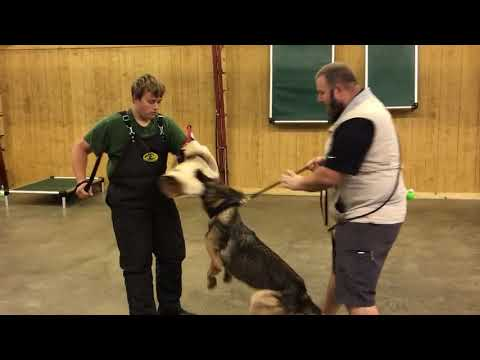 "Sable German Shepherd ""Boom"" 18 Mo's Protection Trained Dog For Sale"
