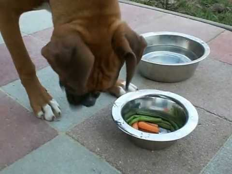 Boxer Puppy Eating Raw Food