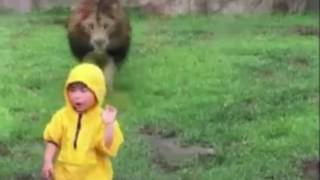 lion charges towards boy at zoo scary