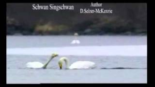 Schwan Singschwan Animals Tiere Natur Selzer-McKenzie SelMcKenzie