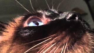 Воспитательные работы Сиамского котэ :) Часть 2 =^..^= Сиамский кот и кошка(Здравствуйте ❣ Меня зовут Меня зовут Валентина айВЛЕНТИ и очень - очень приятно, что Вы зашли ко мне на..., 2016-03-07T07:00:00.000Z)