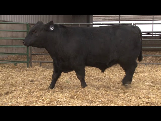 Schiefelbein Angus Farms Lot 64