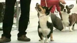 Welsh Corgi Cardigan - Rasa Psów Pasterskich