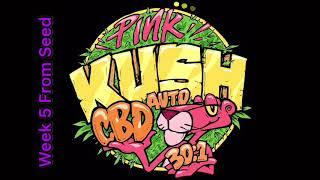 Auto Pink Kush 30:1 (CBD) - Week 5 From Seed