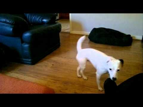 Dog Jump Fail Funny Parsons Russell Flip - HD