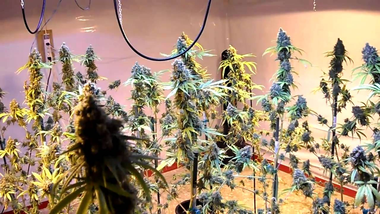 Download indoor G-13 harvest