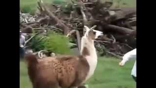 Viral funny videos - Hilarious video clips - Funny Animals 2015