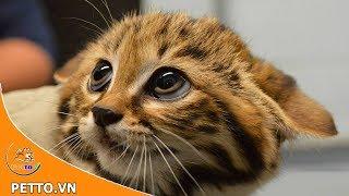 Mèo Chân Đen – Loài Mèo Nġuy Hiểm Nhất Trái Đất Sąu Vẻ Ngoài Đáng Yêu - Peттo TV