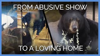 5-bears-go-from-abusive-show-to-loving-home-peta-animal-rescues