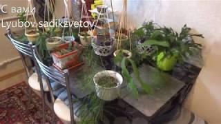 Комнатные цветы/растения. Мои лесные кактусы. Мини коллекция.