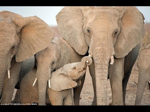 Cute And Adorable Baby Elephant Wraps His Tiny Trunk Around His Mother's Tusk For Comfort