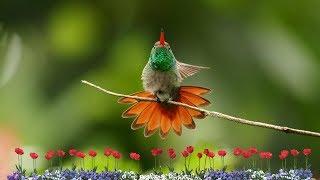 Gambar cover Suara Burung KOLIBRI Gacor Ocehan Si Master Kicau