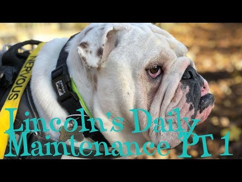 Lincoln's Daily Maintenance Part 1 | ENGLISH BULLDOG
