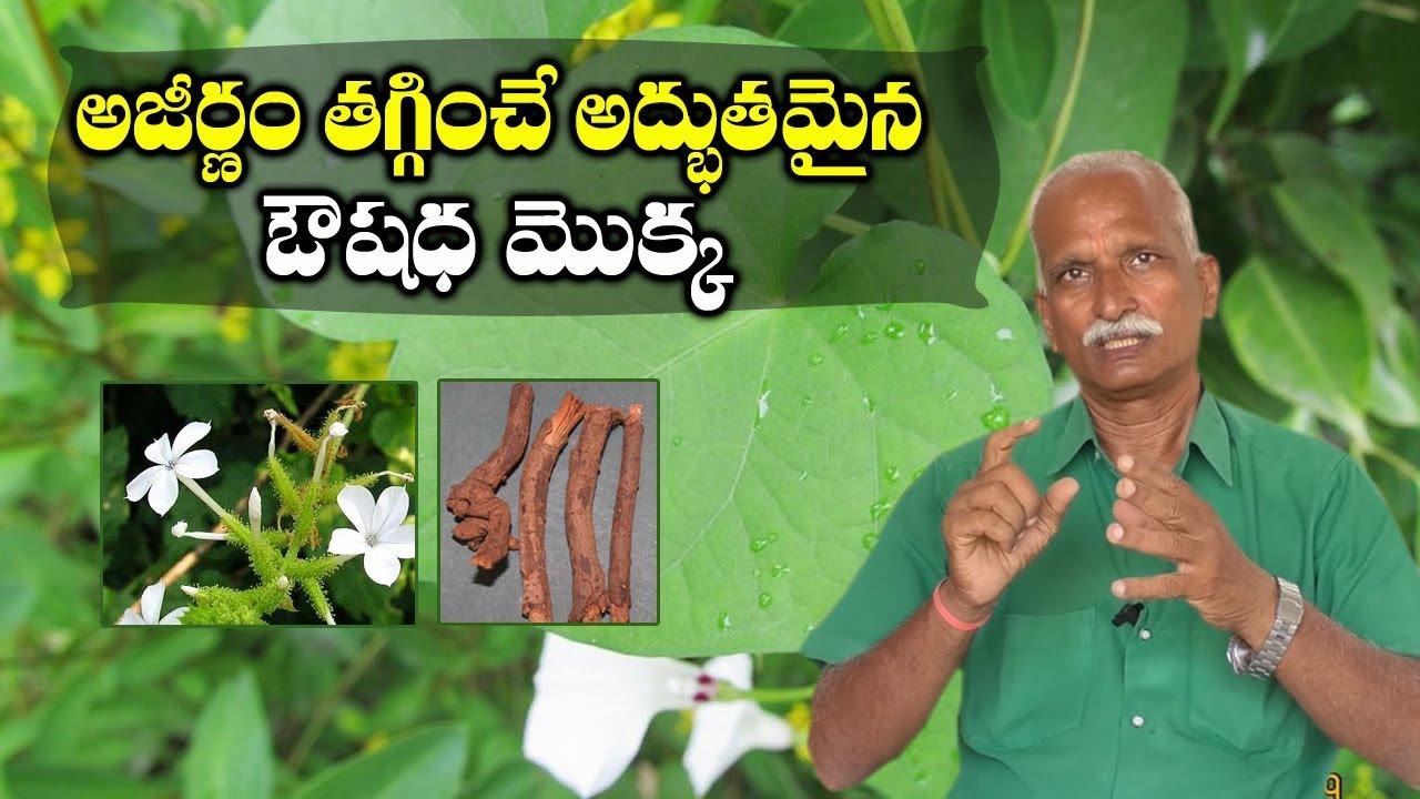Download Chitrak Plumbago zeylanica for Digestion || Ayurvedic Medicine Plant || SumanTV Tree