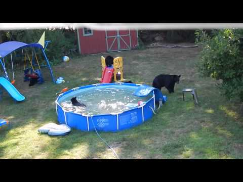 A bear family takes a dip in our pool - Part II