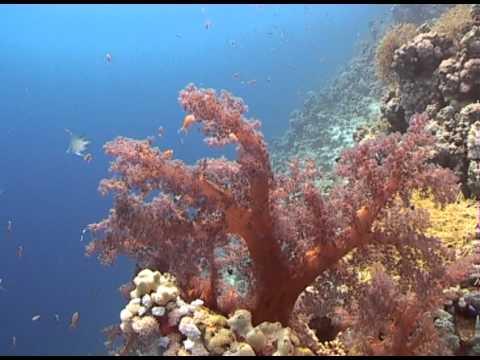 Как выглядит коралл