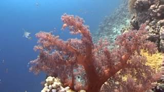 Кораллы Красного моря(Что такое коралл и коралловый риф? Как растут и живут кораллы, и какими они бывают? Ответы на эти и другие..., 2013-12-08T17:09:57.000Z)