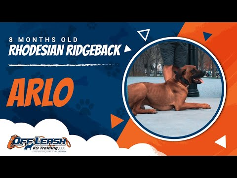 rhodesian-ridgeback-|-8-months-old-|-arlo-|-danny-walker-|-off-leash-k9