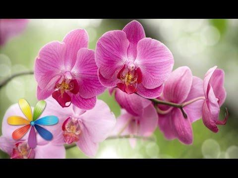 Уход за орхидеями для начинающих — Клуб любителей орхидей