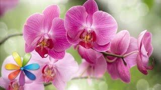 Секреты ухода за орхидеями - Все буде добре - Выпуск 148 - 14.03.2013 - Все будет хорошо(Все секреты ухода за орхидеями расскажет сегодня Нелли Мурашкина! Оживите свою орхидею -- пусть она порадуе..., 2013-10-17T10:18:04.000Z)