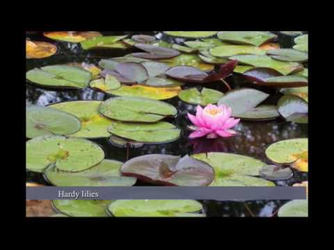 Water Lilies vs Lotus Water Garden Plants, Nymphaea vs Nelumbo