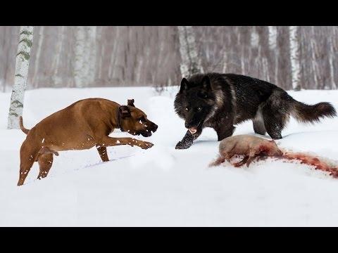 DOG BREED Best SHEPHERD Fastest Dog Breed [Mr Fahey]