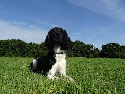 Dexter - Springer Spaniel - 4 Weeks Residential Dog Training