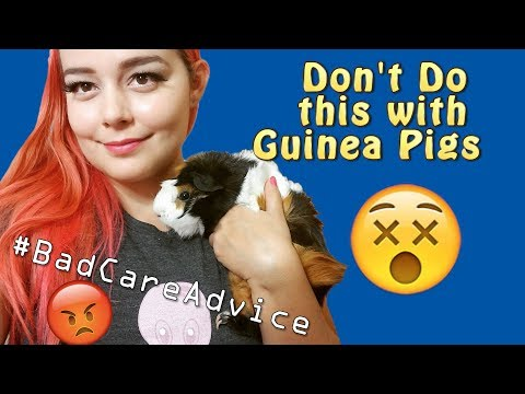 Dangers to Guinea Pigs | The DONT's of Guinea Pig Care